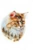 Topham Cat