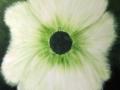Lesley Webb White flower